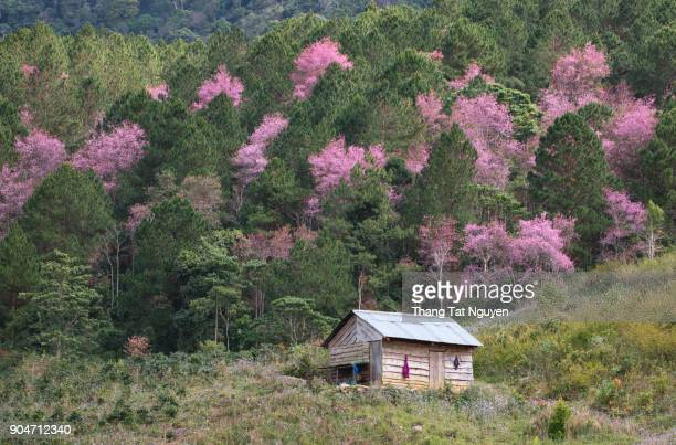 Local wooden house in sakura forest in spring