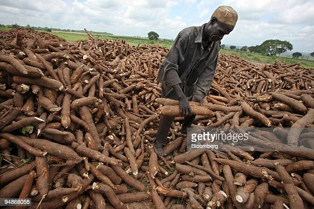A local worker gathers harvested cassava at Graham Hatty's farm in Shonga Nigeria on Tuesday July 29 2008 White farmers fleeing Robert Mugabes land...