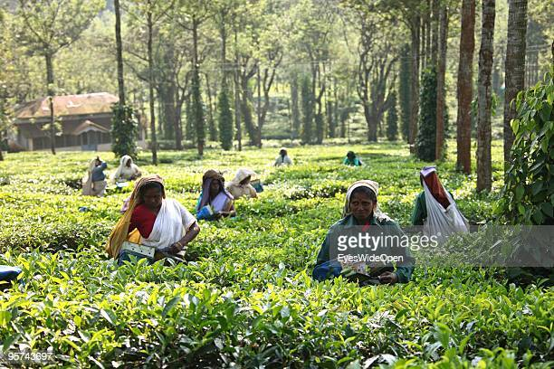 Local worker picking tea leaves on a tea plantation in Kumily on January 02 2009 in Kumily near Trivandrum Kerala South India