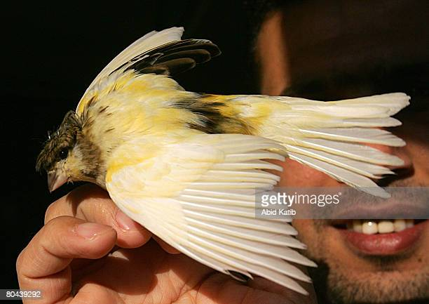 A locally bred Canary bird is tended to at a bird shop on March 30 2008 in Gaza City Gaza Vendors and breeders of the decorative birds are suffering...