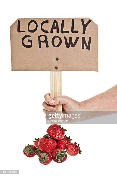 Cultivés des fraises