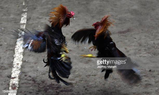 Locals watch as roosters clash during a cockfight on December 4 2011 in Koronadal Philippines Animal rights group People for the Ethical Treatment of...