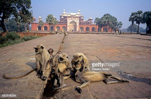 Located in the suburb of Agra the tomb was built between 1600 and 1613 by Mughal Emperor Akbar the Great Gray Langurs at the entrance of the site