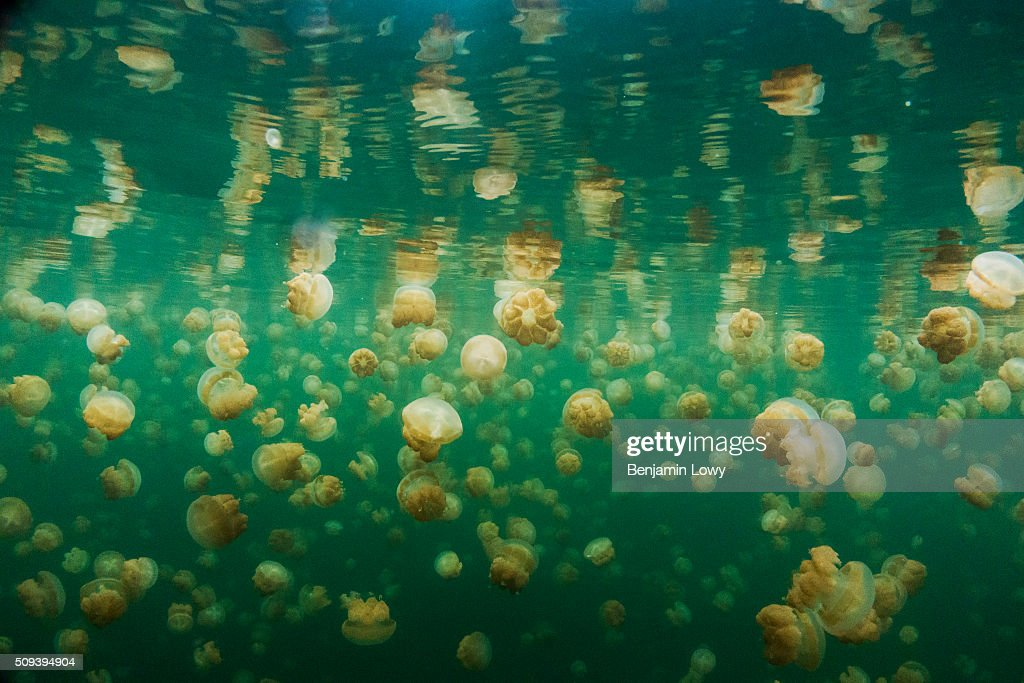 Located on an uninhabited rock island off the coast of Koror in Palau, Jellyfish Lake is one of 70 saltwater lakes on this South Pacific archipelago that were once connected to the ocean, but are now cut off. The isolated lakes became the perfect setting for a jellyfish explosion, which some speculate were trapped in the lake 12,000 years ago after a rise in sea levels post-Ice Age. Feeding on quick-growing algae and with no predators to keep them in check, the jellyfish now completely pack the small lake. Though the jellyfish do have stingers, they are too small to be felt by humans. Swimming in the lake is safe and permitted, but scuba diving is not as it may disturb the ecosystem. Also, you will want to stay away from the dangerous layer of hydrogen sulfide that hovers between 15 and 20 meters deep. During the day, the jellyfish migrate from one side of the lake to the other to follow the path of the sun, which feeds the algae they survive on.