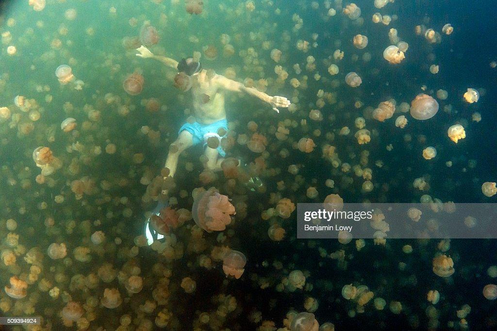 Jellyfish Lake in Palau : News Photo
