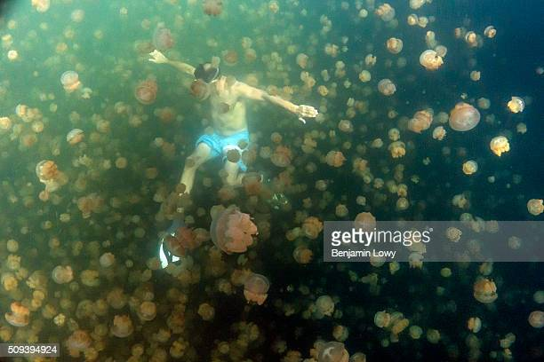 Located on an uninhabited rock island off the coast of Koror in Palau Jellyfish Lake is one of 70 saltwater lakes on this South Pacific archipelago...
