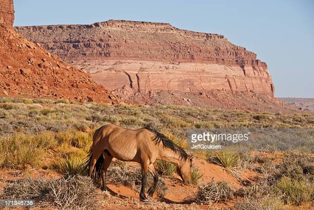 Wild Horse Grazing in the Desert
