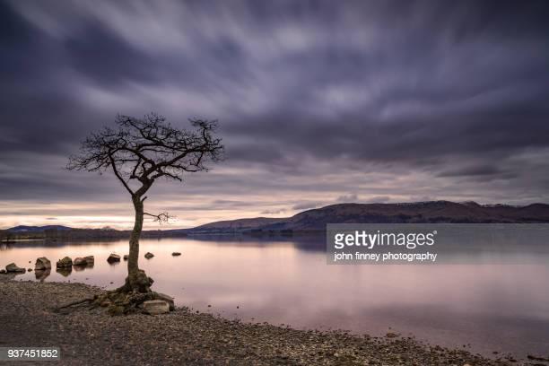 Loch Lomond, Milarrochy Bay tree, Scottish Highlands. UK.
