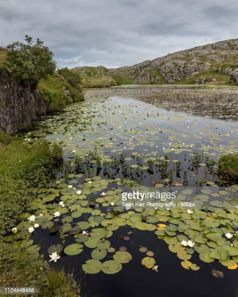 lochan lillies - lily harris photos et images de collection