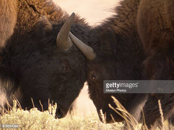 locked horns-lamar valley-yellowstone - megaphone icon stock photos and pictures