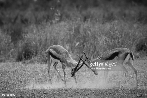locking horns - springbok deer stock photos and pictures
