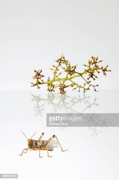 locust acrididae family and eaten grape stalk - richard drury stock pictures, royalty-free photos & images