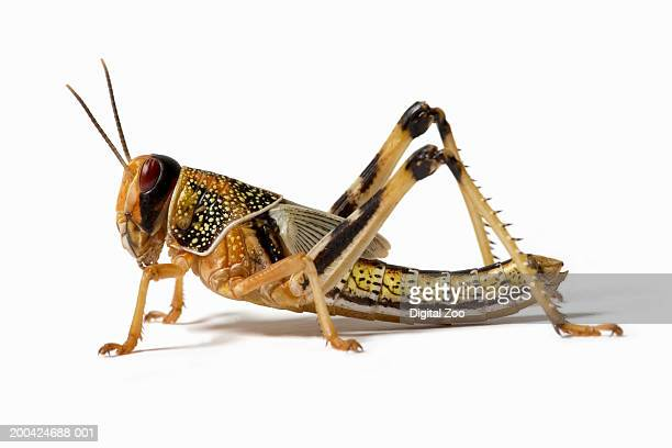 Locust (Acrididae family), close-up, side view