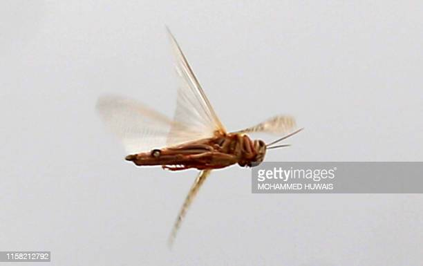 A locust flies during a swarming over the Huthi rebelheld Yemeni capital Sanaa on July 28 2019