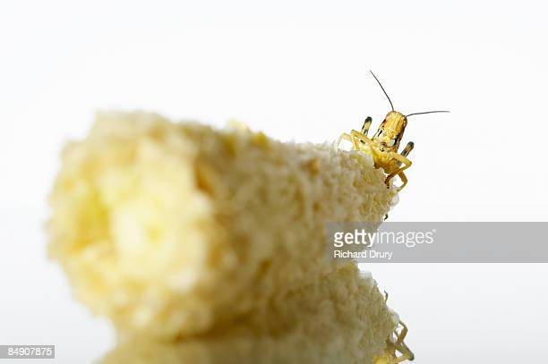 locust (acrididae family) on eaten cob of corn - richard drury stock pictures, royalty-free photos & images