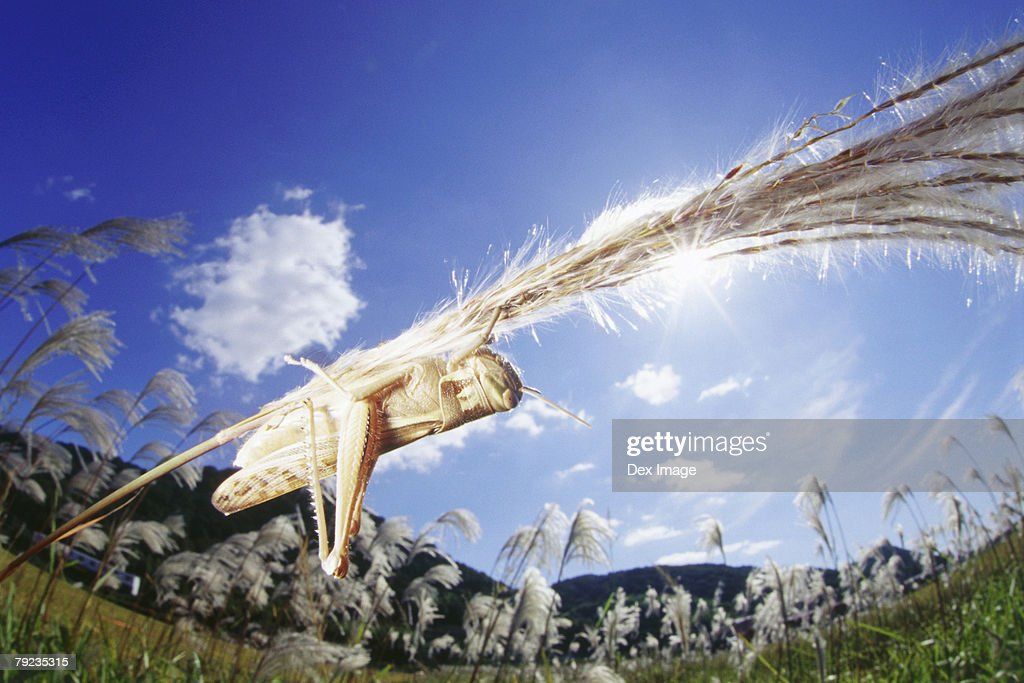 Locust on grass, close up : Stock Photo