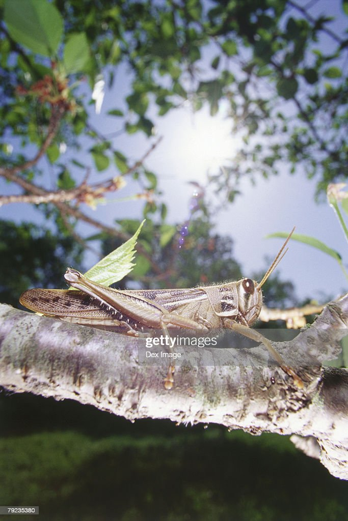 Locust on tree branch, close up : Stock Photo