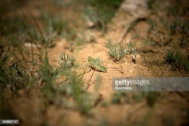 A locust sits in a grassland field near Hohhot China on Wednesday July 16 2008 Funding shortfalls and rising fuel costs are hampering efforts to...