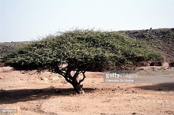 Locust tree. Djibouti, on 1990. FDM-210-11.