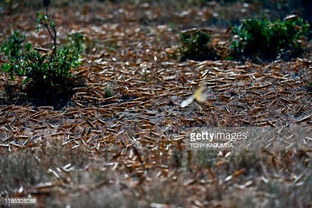 Locusts aggregate on the ground at Lerata village near Archers Post in Samburu county approximately 300 kilomters north of kenyan capital Nairobi on...