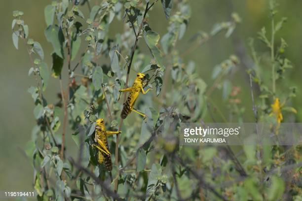 Locusts feed on some ground vegetation at Larisoro village near Archers Post, on January 21, 2020. - The outbreak of desert locusts, considered the...