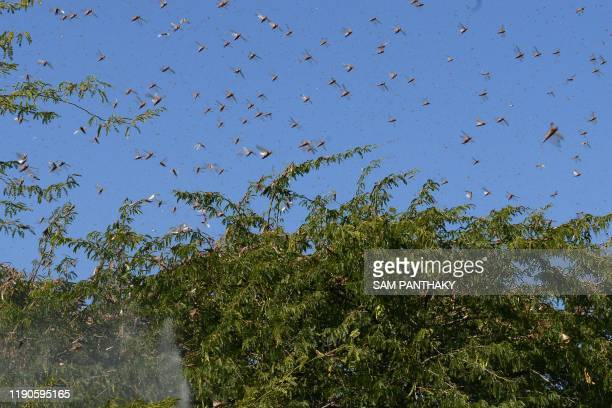 Locusts fly over trees near Miyal village in Banaskantha district some 250km from Ahmedabad on December 27 2019 A massive locust invasion has...