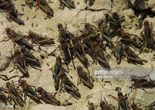 Locusts infest a field near Paiga Tash in Samargan Province Afghanistan May 4 2002 Hundreds of millions of locusts are spreading across areas of...