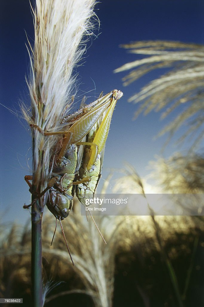 Locusts mating, close up : Stock Photo