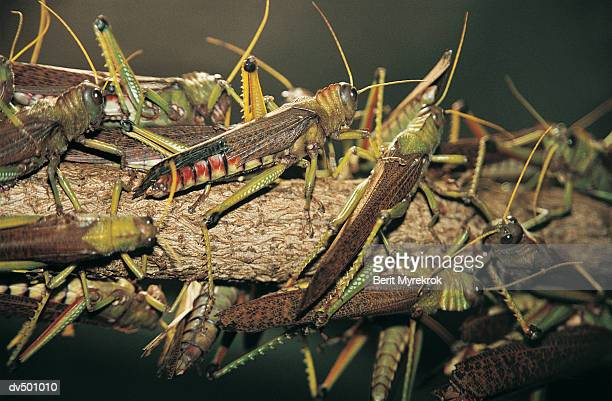 locusts on a branch - locust stock pictures, royalty-free photos & images