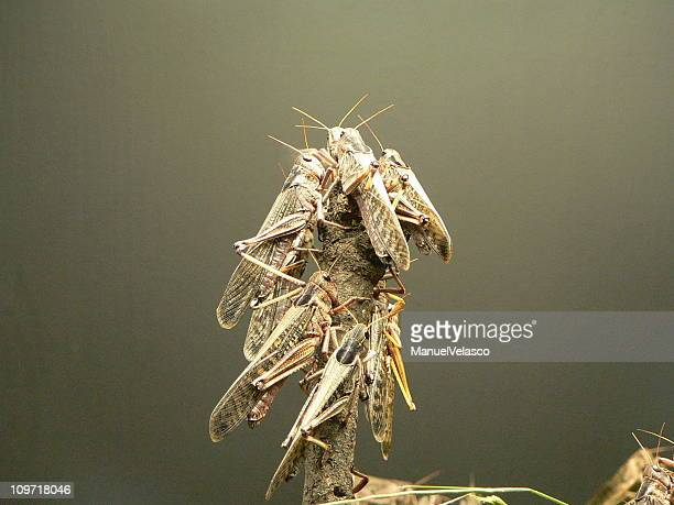 locusts - locust stock pictures, royalty-free photos & images