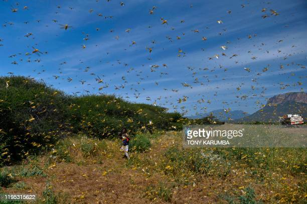 Locusts swarm from ground vegetation as people approach at Lerata village, near Archers Post in Samburu county, approximately 300 kilomters north of...