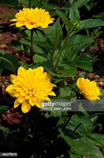 Loddon Gold Sunflower or Double thinleaved Sunflower Asteraceae