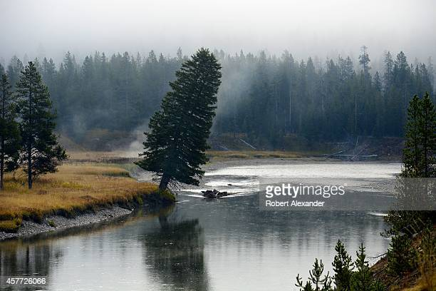 A lodgepole pine leans toward the water on the bank of the Yellowstone River in Yellowstone National Park in Wyoming