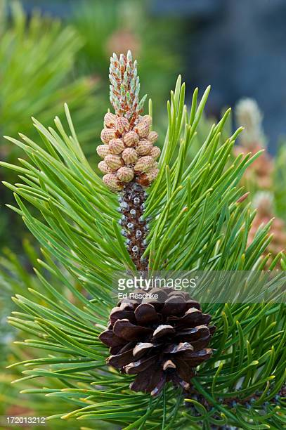 Lodgepole Pine with pollen cones and a seed cone
