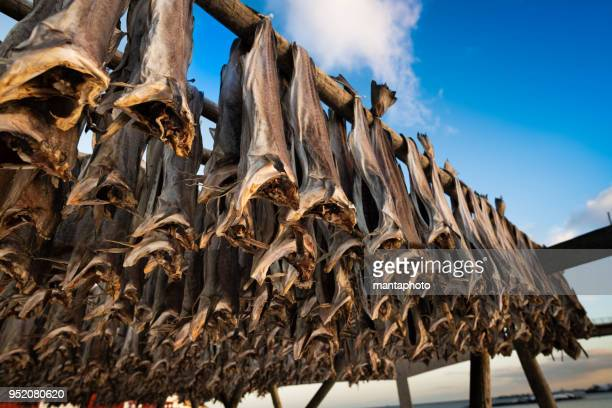 Lofoten Cod fish hanging on scaffolding in winter