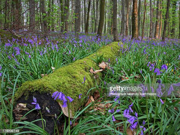 Log in the bluebells