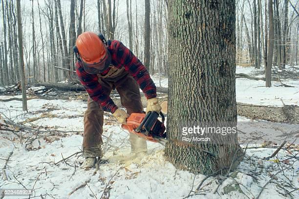 Logger Cutting Down Hardwood Tree