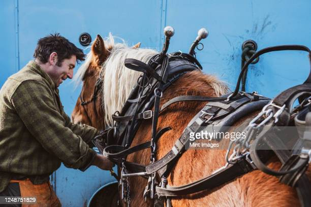 logger fastening harness on one of his work horses. - strap stock pictures, royalty-free photos & images