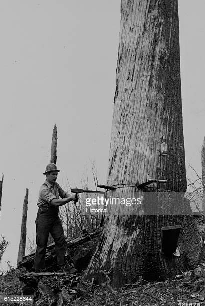 A logger pounds a wedge into a cut made in a tree The wedge will relieve pressure on the saw and start the tree leaning for its fall Oregon