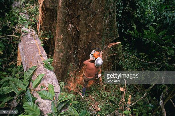 Logger sawing down a tree.