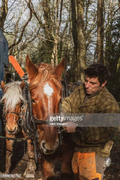 logger standing in forest, fastening the harness on one of his work horses. - strap stock pictures, royalty-free photos & images