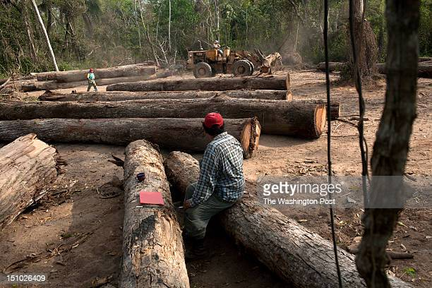 A logger watches a caterpillar machine moving logs to be measured cut if too long and marked to be ready for inspection by ABT the bolivian agency of...