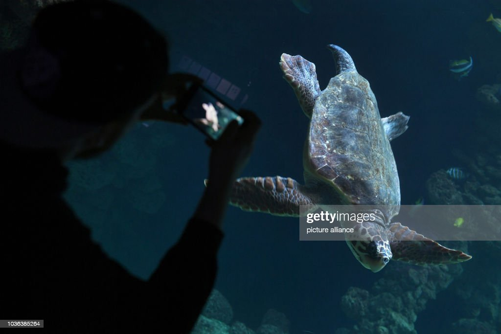 A loggerhead sea turtle in an aquarium of the German