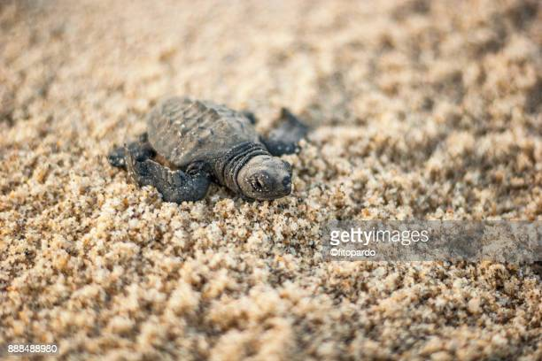 loggerhead sea turtle (caguama) on sand - cabo san lucas stock pictures, royalty-free photos & images