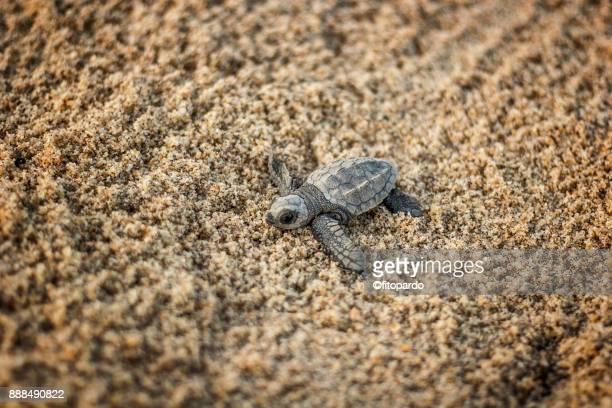 Loggerhead sea turtle (Caguama) on sand