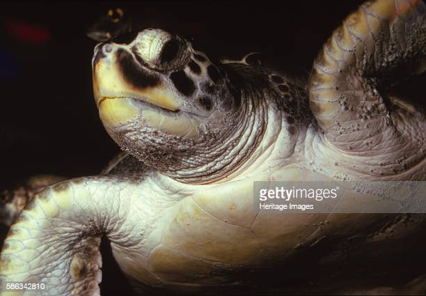 Loggerhead Turtle 20th century The loggerhead sea turtle is found in the Atlantic Pacific and Mediterranean Sea It spends most of its life in...