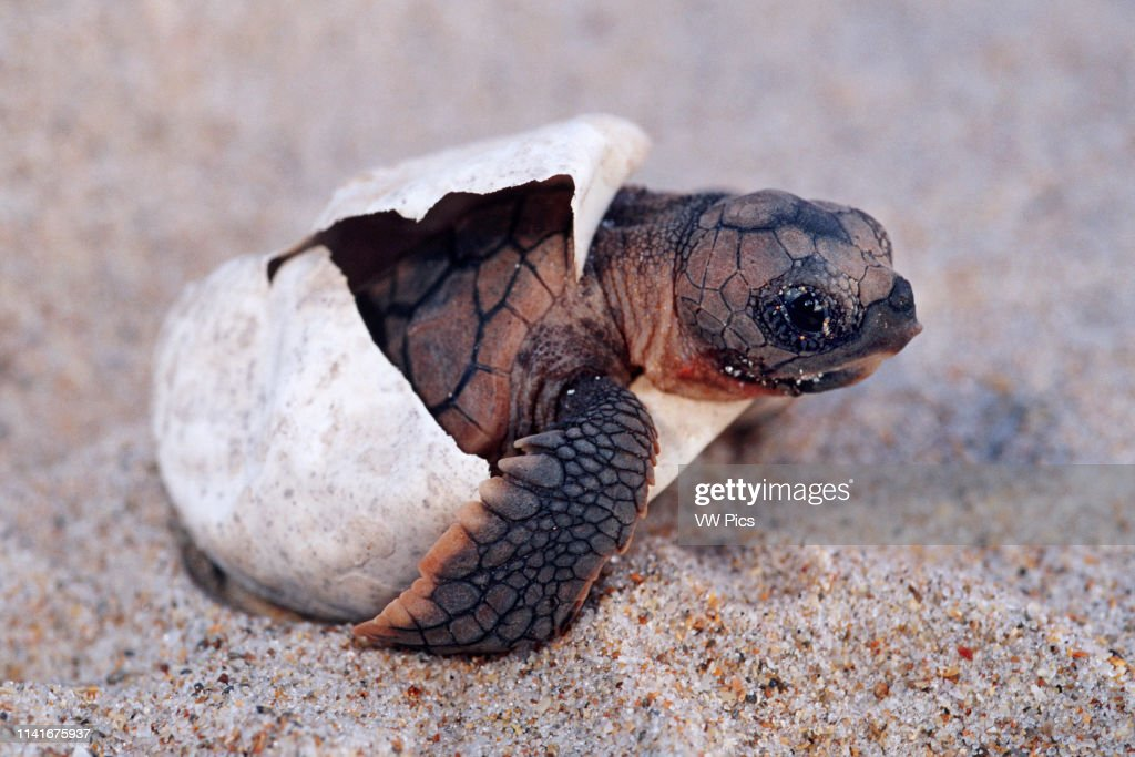 Loggerhead turtle : News Photo