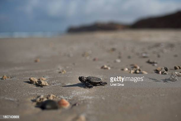 A Loggerhead turtle hatchling races for the Mediterranean Sea after it came of of it's nest at a protected hatchery on September 15 2013 in Mikhmoret...