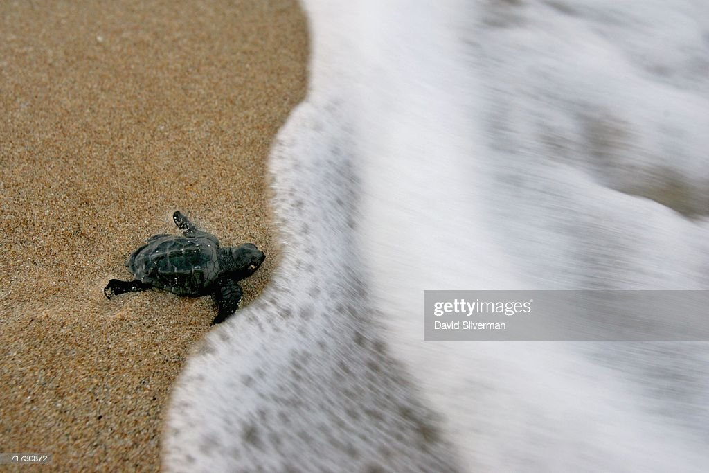 A Loggerhead turtle hatchling reaches the surf in its race to the Mediterranean Sea after it was freed by Israeli ecologists after being trapped in its 40 cm deep nest at a protected hatchery on Betzet beach, at first light August 24, 2006 near the northern Israel town of Nahariya. From transplanting turtle nests during the nesting season to protected beaches, through the rescue and treatment of wounded turtles brought in by fishermen or washed up on Israel's shores, to the development of a long-range breeding program for the threatened Green turtles, the volunteers and staff of the Israeli Nature and Parks Authority are doing their best to protect the creatures. The numbers have dwindled in the Mediterranean to an estimated 350 nesting female Green turtles and about 2500 nesting female Loggerheads. Far removed from man-made obstacles and protected from their natural predators such as crabs, foxes and birds, the hatchlings make their race to the sea with the hope that more than 20 years later they will return to the same beach to ensure the species survival.