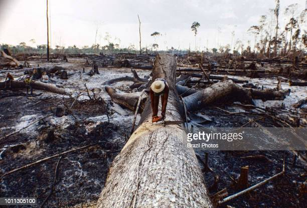 Logging Amazon rainforest clearance workers cut down a large tree using chainsaw Acre State Brazil